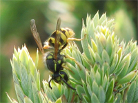New life histories emerge for invasive wasps, magnify ecological harm
