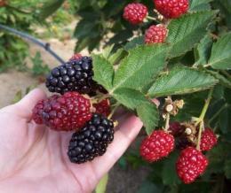 New management methods extend blackberry season