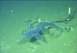 New species of ghostshark from California and Baja California