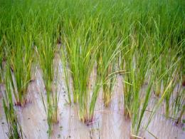 Novel research to root out how microbes affect rice plants