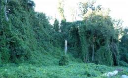 Nuisance or nutrient? Kudzu shows promise as a dietary supplement