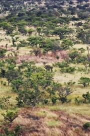 Patches of burnt grass are seen in a tree forest in the Ugandan north-eastern plains