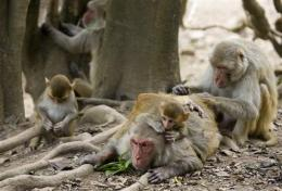 Plan to breed lab monkeys splits Puerto Rican town (AP)