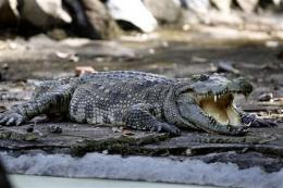 Rare crocs found hiding in plain sight in Cambodia (AP)