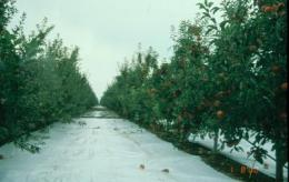 Reflective film can boost profits for apple growers