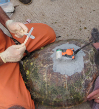 Remotely Operated Vehicles and Satellite Tags Aid Turtle Studies