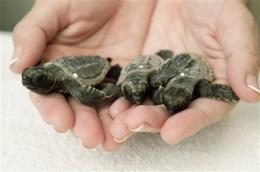 Report: Loggerhead turtles at risk of extinction (AP)
