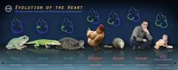 First genetic link between reptile and human heart evolution