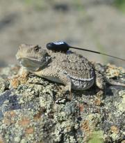 Researcher wants to tip the scales for northern lizard