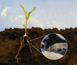 Restoring a natural root signal helps to fight a major corn pest
