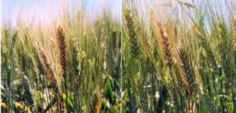 Rot-resistant wheat could save farmers millions