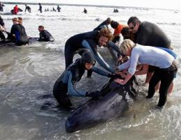 SAfricans begin removing bodies of beached whales (AP)