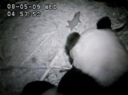 San Diego Zoo panda gives birth to 5th cub (AP)
