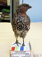Scientists nail quail mystery