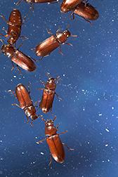 Scientists Plot Genetic Ploy Against Grain Pest