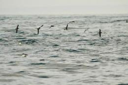 Seabird's ocean lifestyle revealed
