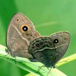 Sexy or repulsive? Butterfly wings can be both to mates and predators