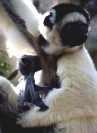 Sifaka Male with infant