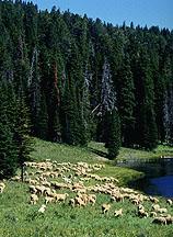 Springtime Sheep Grazing Helps Control Leafy Spurge