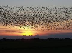 Starlings forming