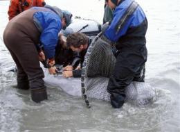Study: Endangered AK beluga whale group declining (AP)