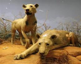 Study: Man-eating lions consumed 35 people in 1898 (AP)