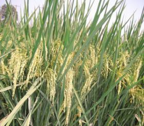 Technology identified could reduce the spread of rice virus
