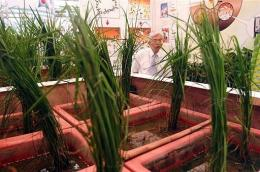 This photos shows rice growing from bio-engineered soil aimed at enhancing its productivity at a trade show in July 2009