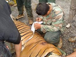 Tiger rescue highlights poaching threat in Malaysia