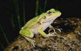 Traffic noise could be ruining sex lives of frogs (AP)
