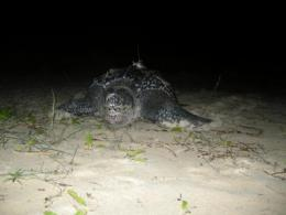 Turtles' Christmas journey tracked by scientists