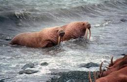 Walruses congregate on Alaska shore as ice melts (AP)