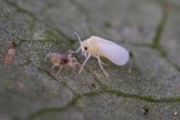 Whiteflies sabotage alarm system of plant in distress