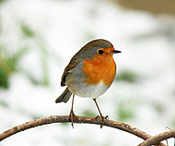 Why don't robins get fat?