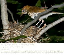 Wood Thrush with Nest