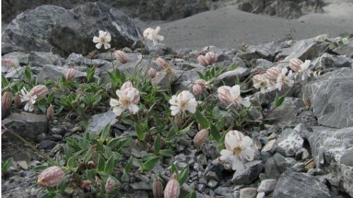 Short-lived seed of alpine plants