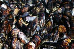 Acidifying oceans could hit California mussels, a key species