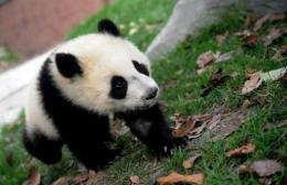 A giant panda cub plays at the enclosure at the Giant Panda Research and Conservation Centre in China
