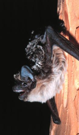 Bats keep separate households