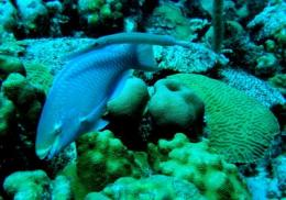 Belize protected area boosting predatory fish populations