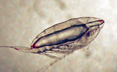 Copepods eat their own weight belts