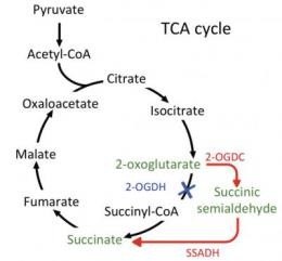 Decades-old conclusion about energy-making pathway of cyanobacteria is corrected