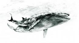 Details of ancient shark attack preserved in fossil whale bone