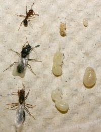 Fast-evolving genes control developmental differences in social insects