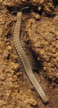 Genetic study of cave millipedes reveals isolated populations and ancient divergence between species
