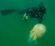 Hunting jellyfish threaten fish stocks