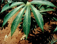 UN warns cassava virus, first identified by Bristol researchers, nearing an epidemic in Africa