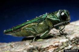 Invasive forest insects cost homeowners, taxpayers billions