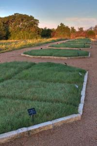 Lawn of native grasses beats traditional lawn for lushness, weed resistance