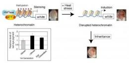 Mechanism for stress-induced epigenetic inheritance uncovered in new study